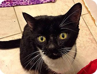 Domestic Shorthair Cat for adoption in Tampa, Florida - Aditi