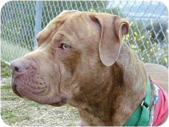 American Pit Bull Terrier/Rhodesian Ridgeback Mix Dog for adoption in San Clemente, California - MARCUS = Quite A Friendly Guy!