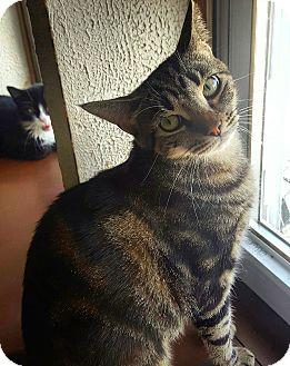 Domestic Shorthair Cat for adoption in Bronx, New York - Gretel