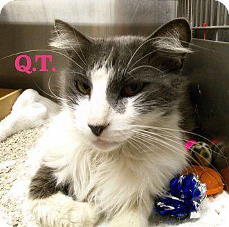 Domestic Mediumhair Cat for adoption in El Cajon, California - Q.T.