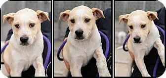 Australian Cattle Dog/Terrier (Unknown Type, Medium) Mix Dog for adoption in Kankakee, Illinois - Frankie