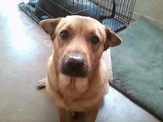 Labrador Retriever/Shepherd (Unknown Type) Mix Dog for adoption in Chandler, Arizona - PEEWEE