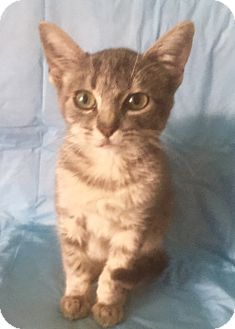 Domestic Shorthair Kitten for adoption in Santa Monica, California - TONY
