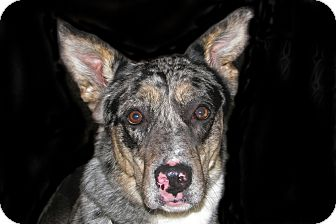 Australian Shepherd Mix Dog for adoption in Ruidoso, New Mexico - Loki