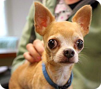 Chihuahua Dog for adoption in Durham, North Carolina - Jingo