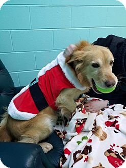 Golden Retriever Mix Dog for adoption in Forest Hill, Maryland - RJ