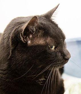 Domestic Shorthair Cat for adoption in Ashland, Massachusetts - Berry (2)