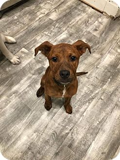 Boxer/Mountain Cur Mix Puppy for adoption in Chicago, Illinois - Aggie