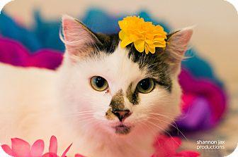 Domestic Mediumhair Cat for adoption in Gainesville, Florida - Fiona