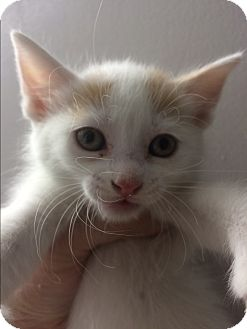 Domestic Shorthair Kitten for adoption in St. Louis, Missouri - Mae