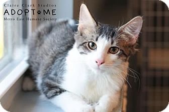 Domestic Mediumhair Cat for adoption in Edwardsville, Illinois - Snickers