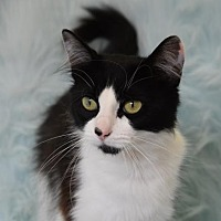 Domestic Mediumhair Cat for adoption in Eureka, California - Betty