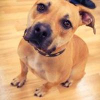 American Staffordshire Terrier Mix Dog for adoption in justin, Texas - Hazel