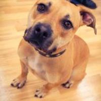 Adopt A Pet :: Hazel - justin, TX