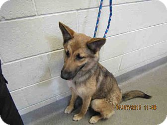 German Shepherd Dog Dog for adoption in Tracy, California - Daisy