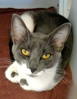 Domestic Shorthair/Domestic Shorthair Mix Cat for adoption in Rio Rancho, New Mexico - Blue Hawaii