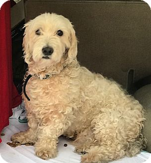 Poodle (Miniature) Mix Dog for adoption in Santa Monica, California - TOBY