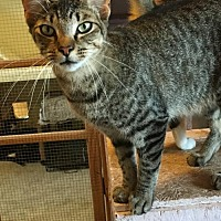 American Shorthair Cat for adoption in Elgin, Texas - Nitro