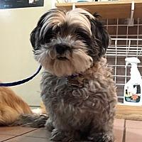 Adopt A Pet :: Chikka - Las Vegas, NV