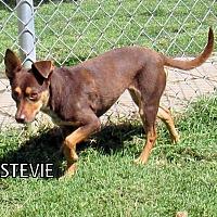 Adopt A Pet :: Stevie - Lindsay, CA
