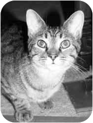 Domestic Shorthair Cat for adoption in E. Claridon, Ohio - Frisco