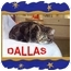 Photo 2 - Domestic Shorthair Cat for adoption in Jacksonville, Florida - Dallas