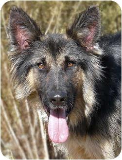 German Shepherd Dog Puppy for adoption in Los Angeles, California - Rover von Rivendell