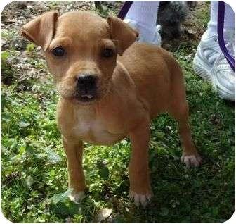 Labrador Retriever/American Pit Bull Terrier Mix Puppy for adoption in Allentown, Pennsylvania - Jazzy