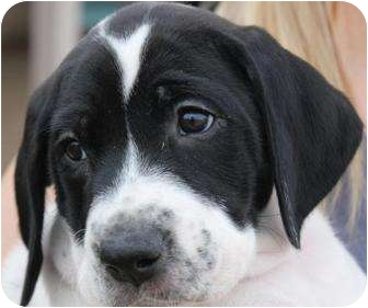 American Bulldog/German Shorthaired Pointer Mix Puppy for adoption in Mesa, Arizona - Venus