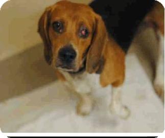 Beagle Mix Dog for adoption in Phoenix, Arizona - Boo Boo