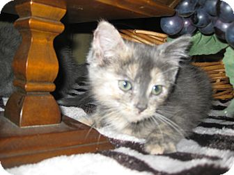 Domestic Shorthair Kitten for adoption in Clearfield, Utah - Taffy