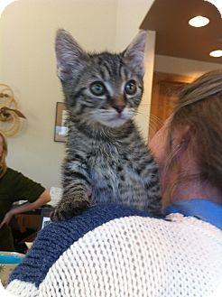 Domestic Shorthair Kitten for adoption in Fountain Hills, Arizona - BILLY