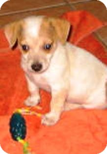 Chihuahua Mix Puppy for adoption in Chandler, Arizona - Christian