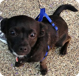 Chihuahua Mix Puppy for adoption in Thousand Oaks, California - Houdini