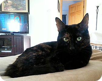 Domestic Mediumhair Cat for adoption in Rockaway, New Jersey - ***Bailey***