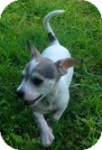 Chihuahua Mix Puppy for adoption in Allentown, Pennsylvania - Dill