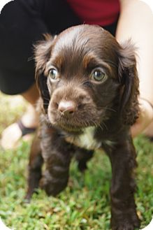 Cocker Spaniel Puppy for adoption in Newark, Delaware - Mocha
