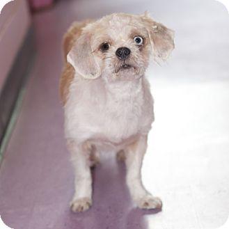 Shih Tzu Mix Dog for adoption in New Martinsville, West Virginia - Flower