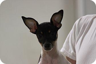 Rat Terrier Puppy for adoption in Brattleboro, Vermont - Markus