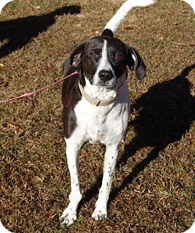 Hound (Unknown Type) Mix Dog for adoption in Londonderry, New Hampshire - Bobby ($200 adoption fee)