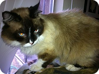 Snowshoe Cat for adoption in Tracy, California - Bubbsie-ADOPTED!