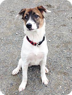 Thai Ridgeback/Jack Russell Terrier Mix Dog for adoption in Snohomish, Washington - Tesla- sweet and friendly!