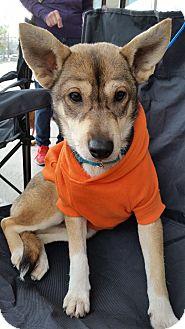 Spitz (Unknown Type, Small)/Shiba Inu Mix Dog for adoption in Portland, Oregon - Keegan