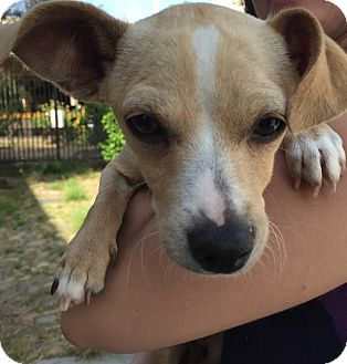 Chihuahua/Terrier (Unknown Type, Small) Mix Puppy for adoption in Encino, California - Jasmine