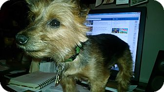 Yorkie, Yorkshire Terrier Dog for adoption in Mt Gretna, Pennsylvania - Arthur