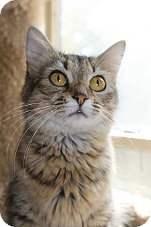 Domestic Mediumhair Cat for adoption in Huntsville, Alabama - Sasha
