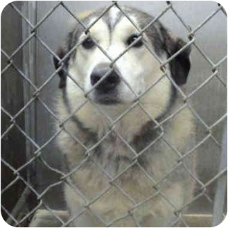 Alaskan Malamute Mix Dog for adoption in Various Locations, Indiana - Anderson Mal