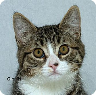 Domestic Shorthair Kitten for adoption in Sacramento, California - Gina N