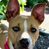 Adopt A Pet :: Cersei - Mount Juliet, TN