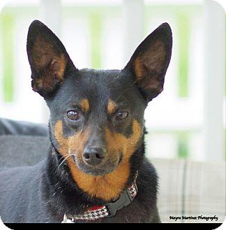 Miniature Pinscher Mix Dog for adoption in Huntsville, Alabama - Sarge